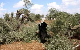 مستوطنون يقطعون اشجار زيتون