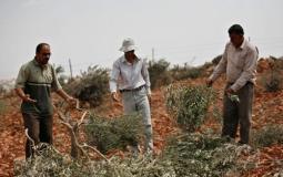 مستوطنون يقتلعون اشجار الزيتون في الضفة المحتلة