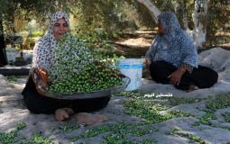 قطف الزيتون بغزة (20)