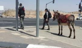 حمار يتهمه الاحتلال باعمال عدائية.jpg