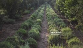 زراعة الزعتر بغزة (39059972) 