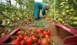 مواطنة  تقطف ثمار البندورة داخل دفيئة زراعية بيوم المراة العالمي (7)
