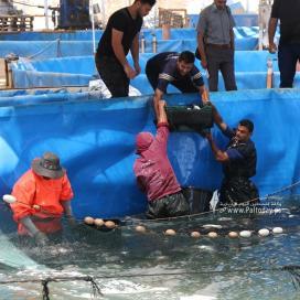 بالصور :نفوق آلاف الأسماك وخسائر بملايين الشواكل وتهديد مشروع تربية الأسماك بسبب إغلاق المعابر