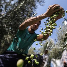 بالصور:بدء موسم قطف ثمار الزيتون في قطاع غزة
